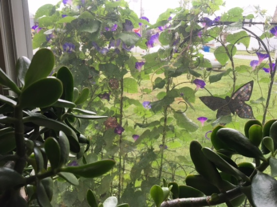 morning glories through the window