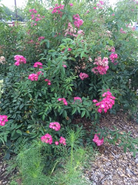 robinhood roses