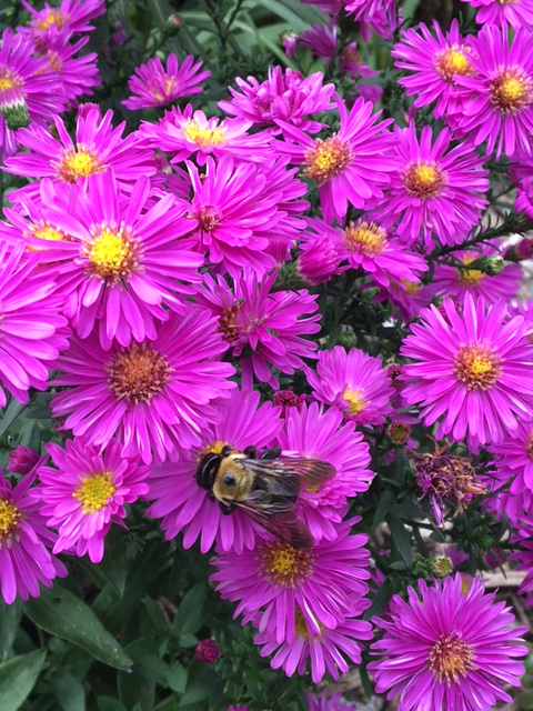 bumble-bee-on-asters