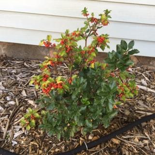 holly-has-berries