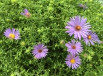 october-skies-asters