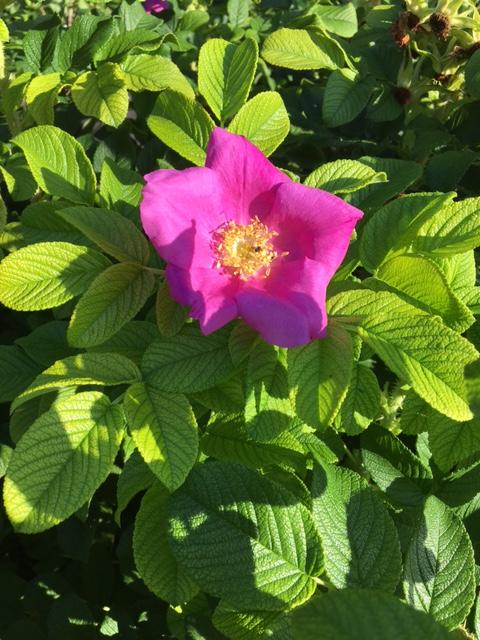 scabrosa-rose