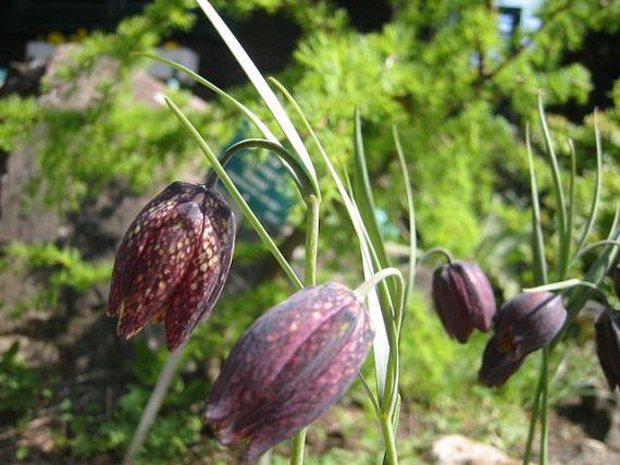 640px-Fritillaria_montana_01HD