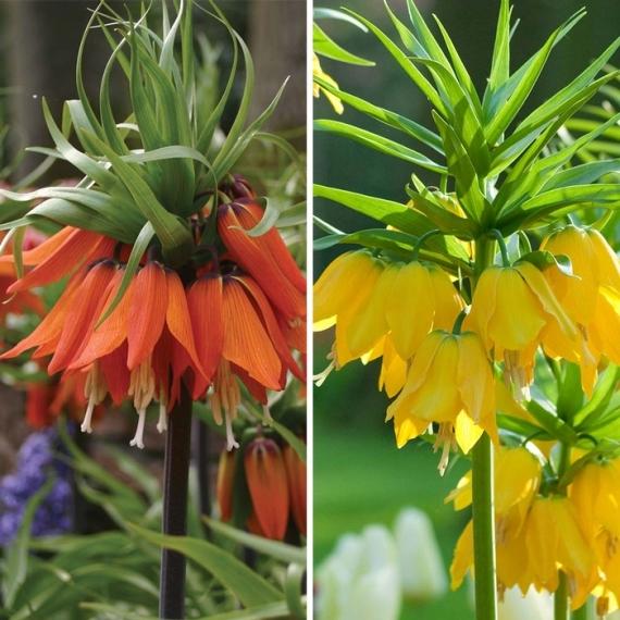 Fritillaria from Longfield