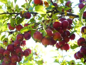 Abundant crab apples (the first year after we wassailed!)